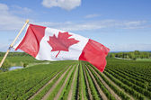 Canadian Flag Flying Over a Vineyard in Niagara Wine Region — Stock Photo