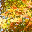 Colorful Maple Leaves in the Fall — Stock Photo