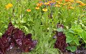 Companion planting, lettuce, Marigols and strawberry plants. — Stock Photo