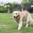 The golden retriever — Stock Photo