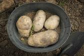 Some potatoes — Stock Photo