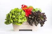 Hydroponics vegetable — Stock Photo