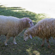 Two sheeps in the meadow - Stock Photo