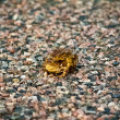 Frogs on the road — Stock Photo