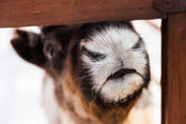 Snout of reindeer — Stock Photo