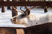 White reindeer — Stock Photo