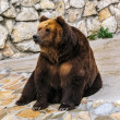 Brown bear in Moscow Zoo — Stock Photo #14816033