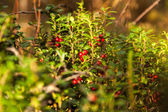 Cowberry. Swamp. Hiking in Karelia. — Stock Photo