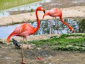 Flamingo in Zoo — Stock Photo