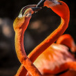 Stock Photo: Flamingo making love