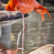 Flamingo bathing in sun and pond — Stock Photo