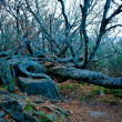 Stock Photo: Ancient crooked tree limbs and trunk