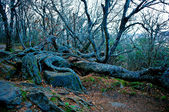 Ancient crooked tree limbs and trunk — Stock Photo