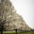 Stock Photo: Blooming treeline