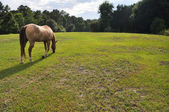 Grazing horse in a field — Stock Photo