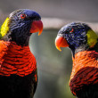 Australian rainbow lorikeet parrot twins — Stock Photo