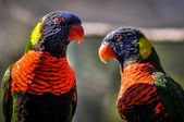 Australian rainbow lorikeet parrot twins — Stock Photo