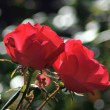 Two red roses — Foto Stock