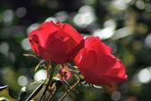 две красных розы — Стоковое фото