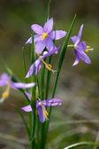 Purple snowdrop flowers — Stockfoto
