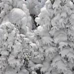sníh krytých stromy — Stock fotografie