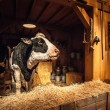 Cow on the farm — Stock Photo
