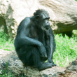 Male silver back gorilla sitting - Stock Photo