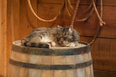 Cat sleeping on wooden wine barrel — Stock Photo