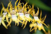 żółty kwiat tropikalnej — Zdjęcie stockowe