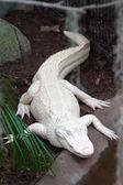 Albino alligator - Alligator Farm — Stock Photo