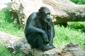 Male silver back gorilla sitting — Stock Photo