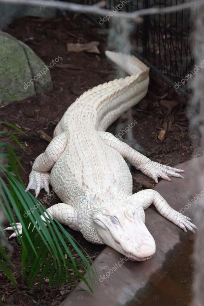 albino alligator krokodil bauernhof stockfoto digidream 18163883. Black Bedroom Furniture Sets. Home Design Ideas