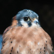 Stock Photo: American kestrel