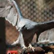 Mississippi Kite — Stock Photo #20336407
