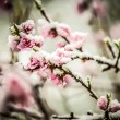 Peach blossom in snow - Stock Photo