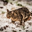 Cat in the snow — Stock Photo