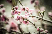 Peach blossom in snow — Stock Photo