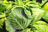 Sebze bahçesinde taze lahana close-up — Stok fotoğraf