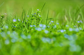 Forget-me-not blue flowers into green grass with water drops on — Stock Photo