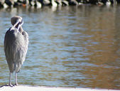 Blue heron stands in shallow water while preening feathers — Stock Photo