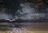 Blue heron fliegen auf einem malerischen hintergrund — Stockfoto