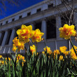 Dafodils with a classic old building in background - Stock Photo