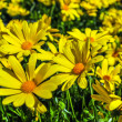 Close up of bunch of yellow daisies — Stock Photo #23907009