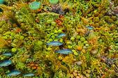 Vita di mare corallina subacquea — Foto Stock