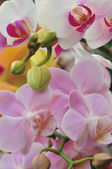 Beautiful white and pink orchid - phalaenopsis — Stock Photo