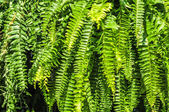 Beautyful leaves of fern (Cyathea lepifera) — Foto Stock