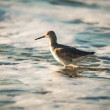 Stock Photo: Willet wading through ocefoam