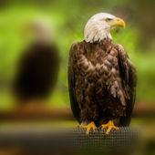 Bald head eagle — Stock Photo
