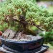 Miniature bonsai japanese tree in a pot — Stock Photo #26156211