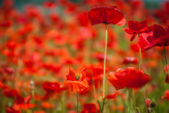 Poppy field — Stock Photo #26156235